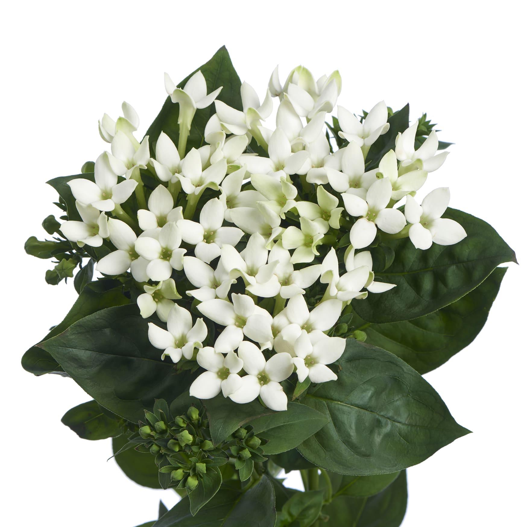 RVZ_bouvardia_Royal_White_Verde -Borgijink